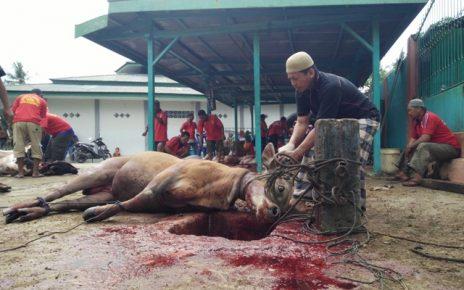 Panitia penyembelihan hewan qurban saat mengikat sapi