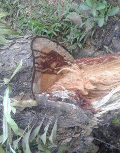 Tampak berbeda bagian pohon yang digergaji dengan yang tidak digergaji