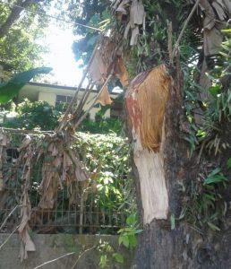 Tampak bagian pohon yang tumbang, diduga digergaji oleh oknum yang tak bertanggung jawab