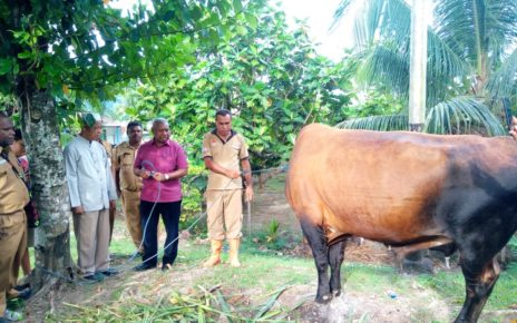 Gubernur Papua Barat, Drs Dominggus Mandacan menyerahkan sapi sumbangan dari Presiden kepada Pengurus PHBI Kabupaten Manokwari di Halaman Masjid Bahri Fasharkan TNI-AL Manokwari, Senin (20/8/2018)